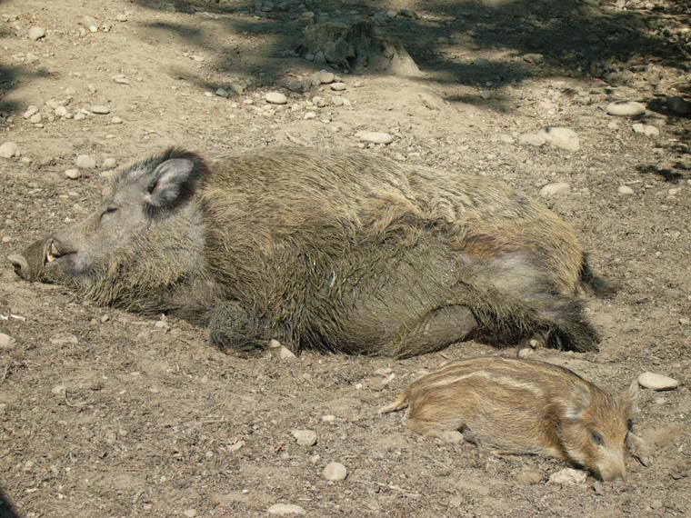 Wildschweine geniessen die Frühlingssonne